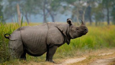 World Rhino Day: Conservation of rare one-horned rhino becoming more…