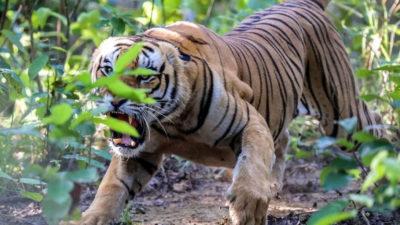 Tiger taken under control