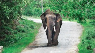 Elephant tramples man to death in morning walk