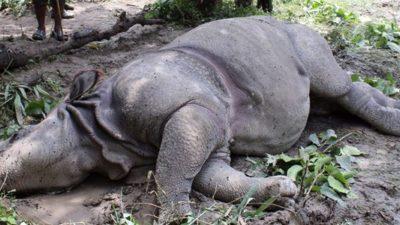 Rhino found decomposed in Chitwan