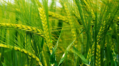 Kailali farmers to receive grants to begin wheat farming on…
